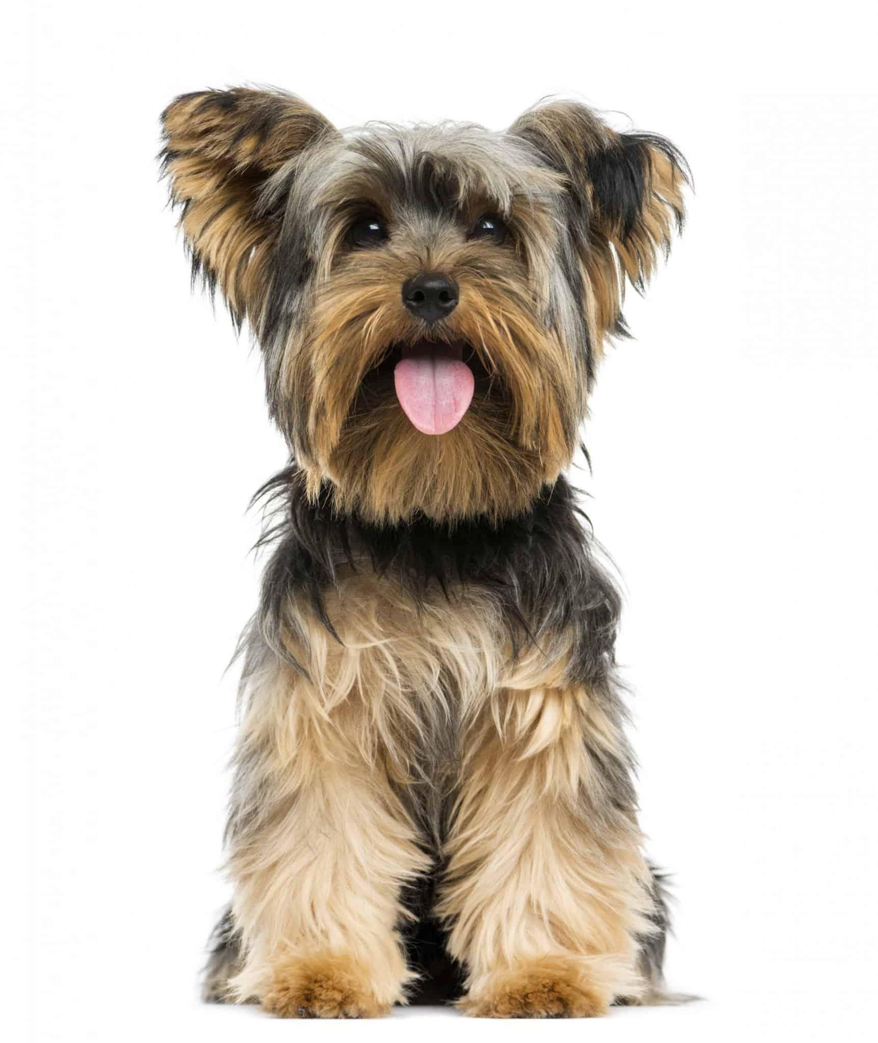 כלב ארלגי