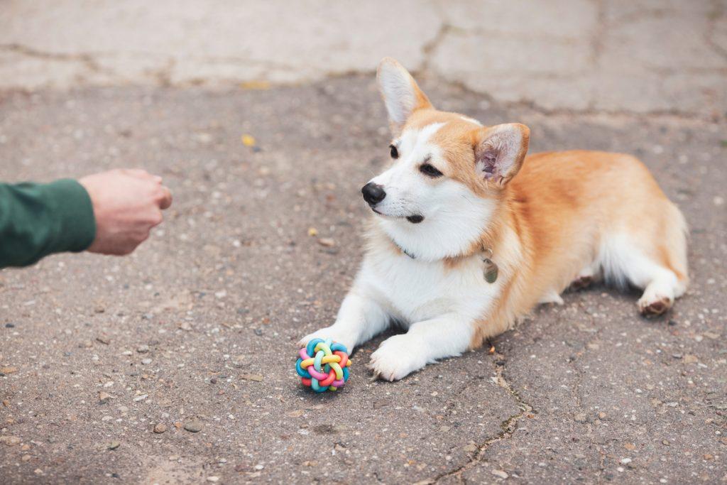 מתן חטיף לכלב נשכן